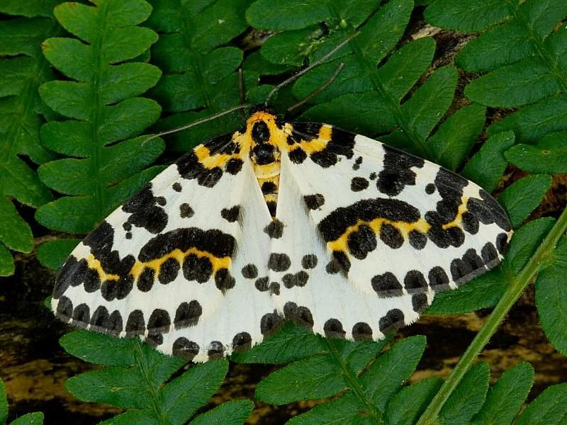The Magpie moth - Google Search