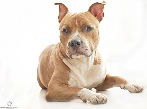 Sawyer American Pitbull Terrier Pitbull Terrier American