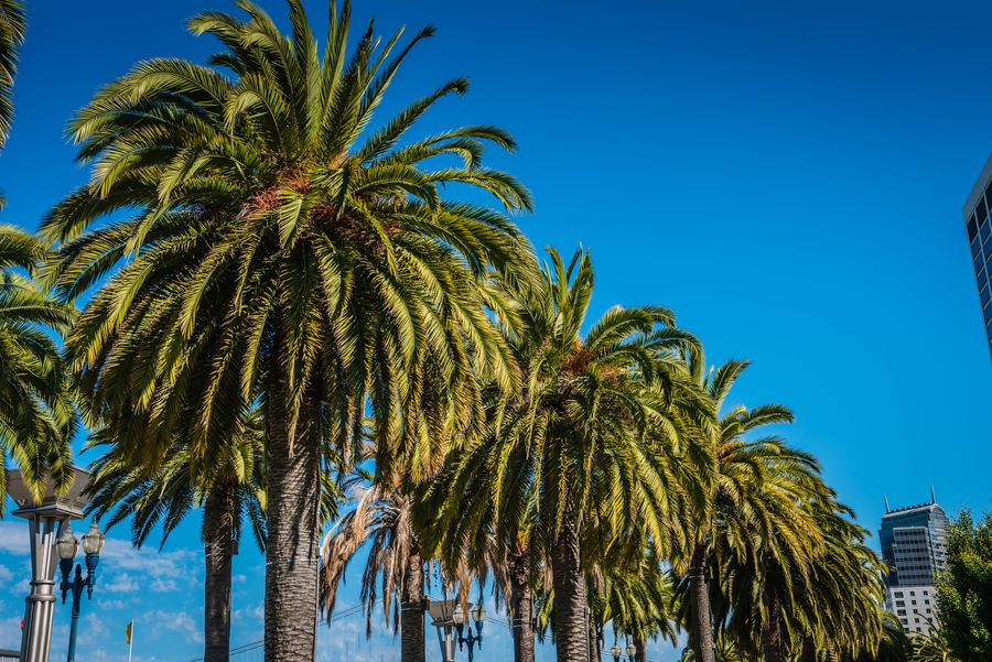 Are There Palm Trees In San Francisco