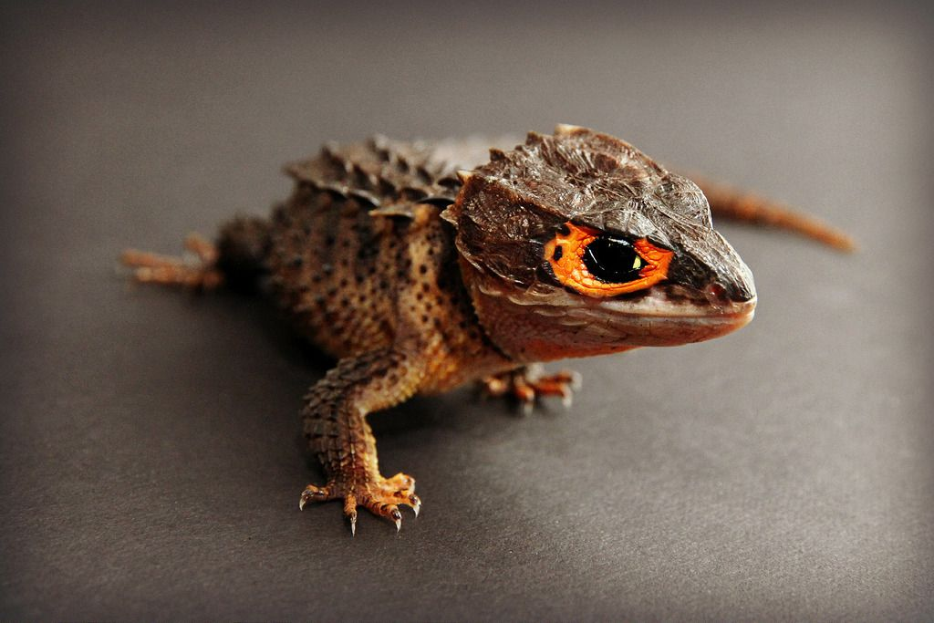 17 Pets You Can Legally Own That Look Like Dragons Reptiles Pet