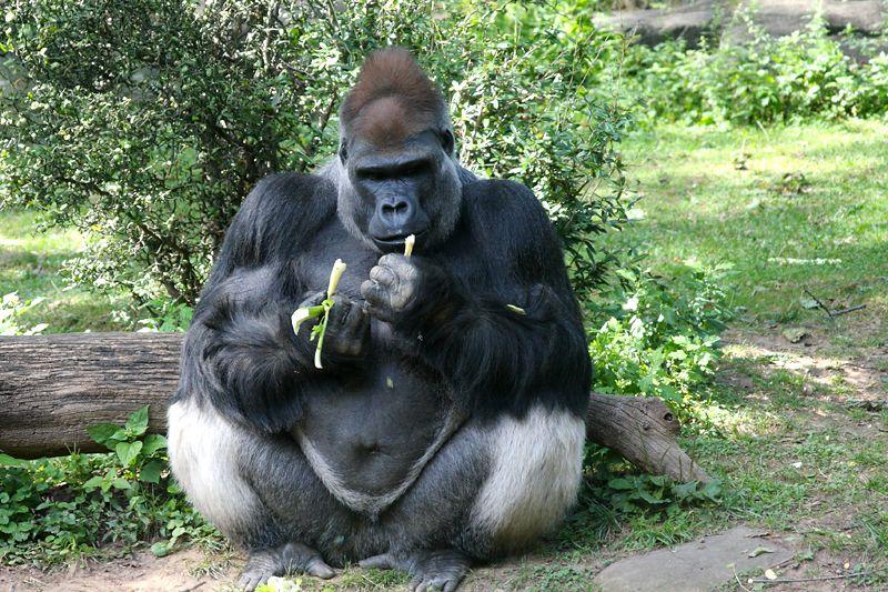 Male Gorilla @ Bronx Zoo (New York, NY) » 2012/09/24