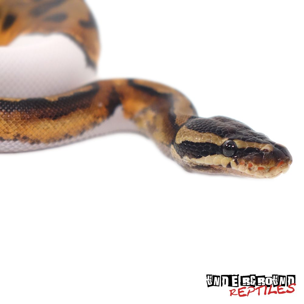 Baby pied ball python future pets pinterest ball python baby pied ball python nvjuhfo Images