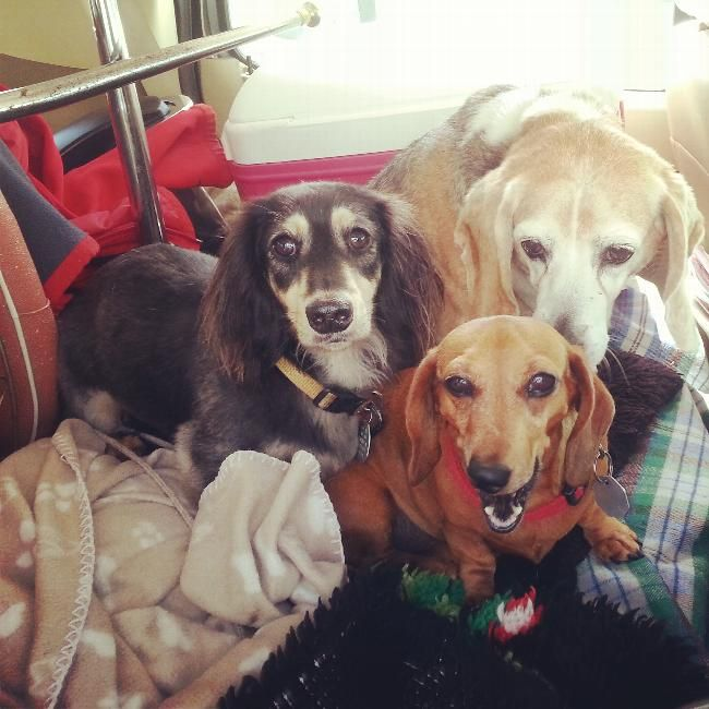 Pet Sitter Housesitter Required For Three Dogs Housesitter