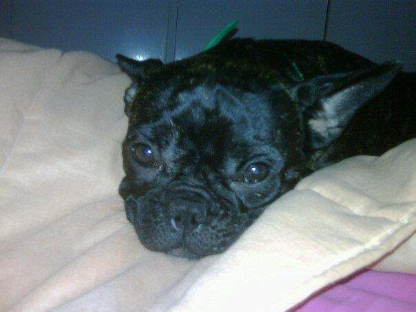 Sleepy frenchie!