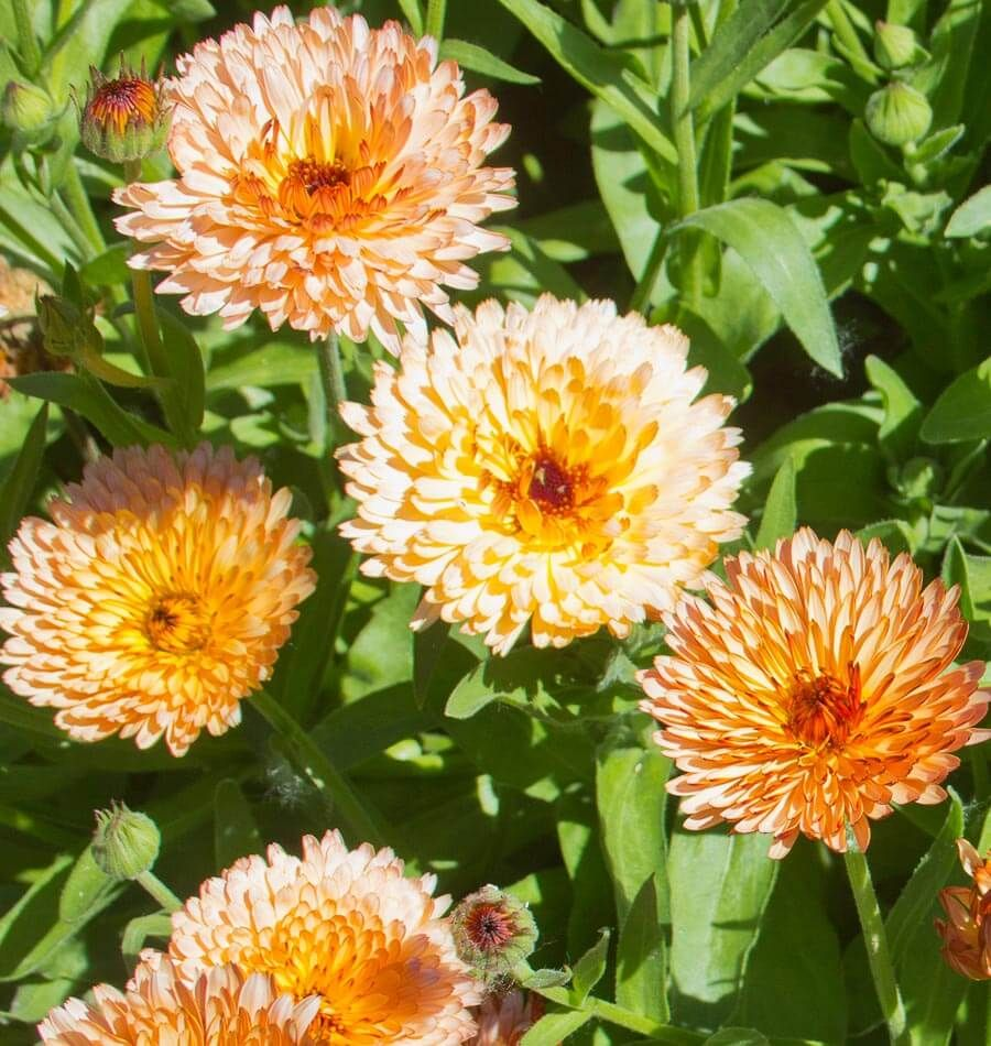 It is very rewarding to plant Calendula seeds. The plants