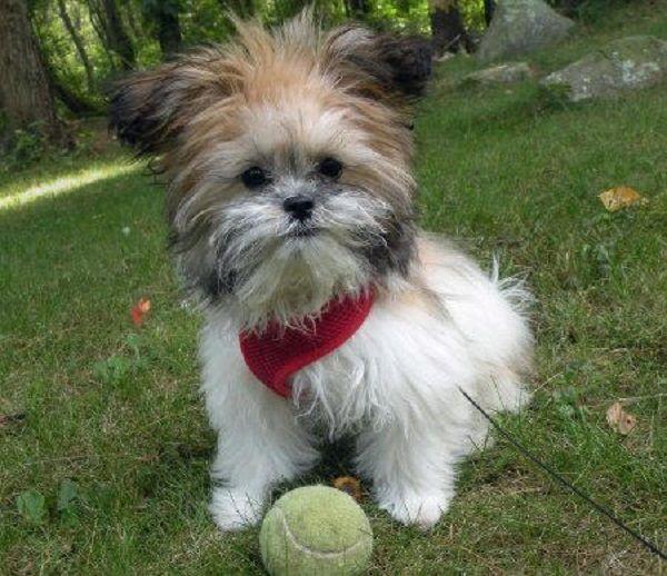 Shih Tzu Bulldog Mix Puppies Zoe Fans Blog Pomeranian Mix