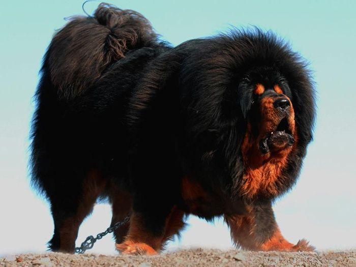 Hairy. Beary. And a little bit scary. (Tibetan Mastiff)