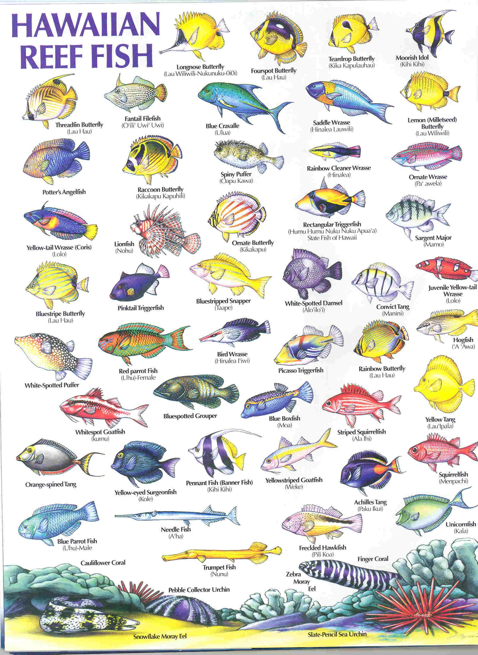 Freshwater fish of hawaii - Hawaiian Reef Fish Guide Grew Up Swimming Bamboo Fishing For These Gorgeous Fish