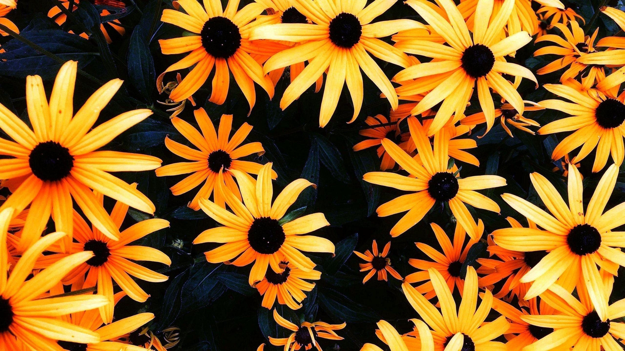 Sunflower Wallpapers For Chromebook Sunflower Wallpapers For Chromebook Sunflower Images Info Sunflower Wallpaper Sunflower Pictures Sunflower Images