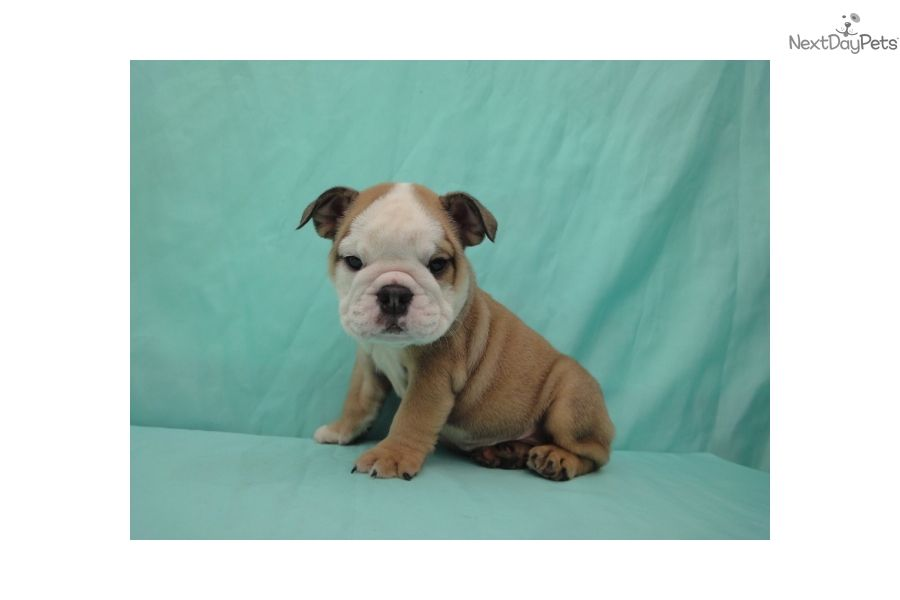 English Bulldog Girl 2 Brown White Female Bulldog For Sale In