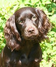 The South Carolina State Dog The Boykin Spaniel Boykin Spaniel Spaniel Breeds Spaniel