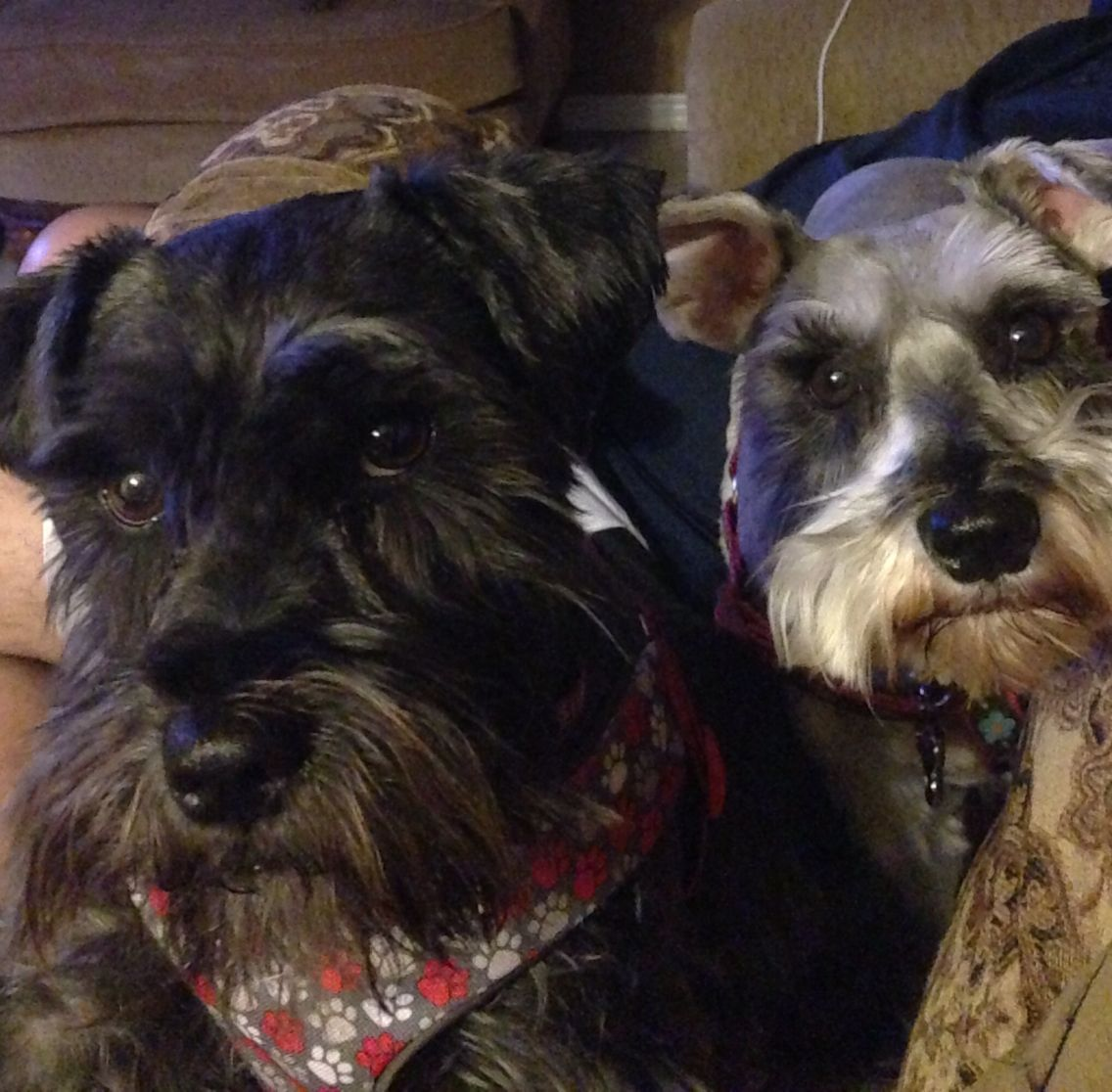 Cosmo and Bella the schnauzers