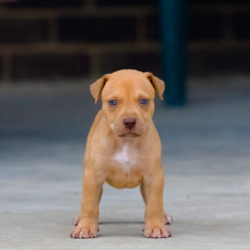 Red Nose Pitbull Puppies For Sale | Baby Pitbulls For Sale ...