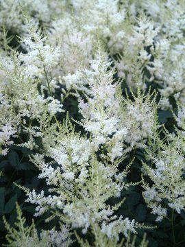 Astilbe simplicifolia 'White Wings' Perennial Spirea | WHITE