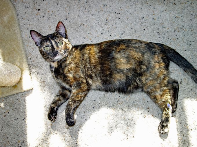 Chimera Is A 1 Year Old Little Tortoiseshell Female Cat Who Loves To Play She S Gentle And Loving And Has Been Work Animal Welfare League Pets Cute Animals