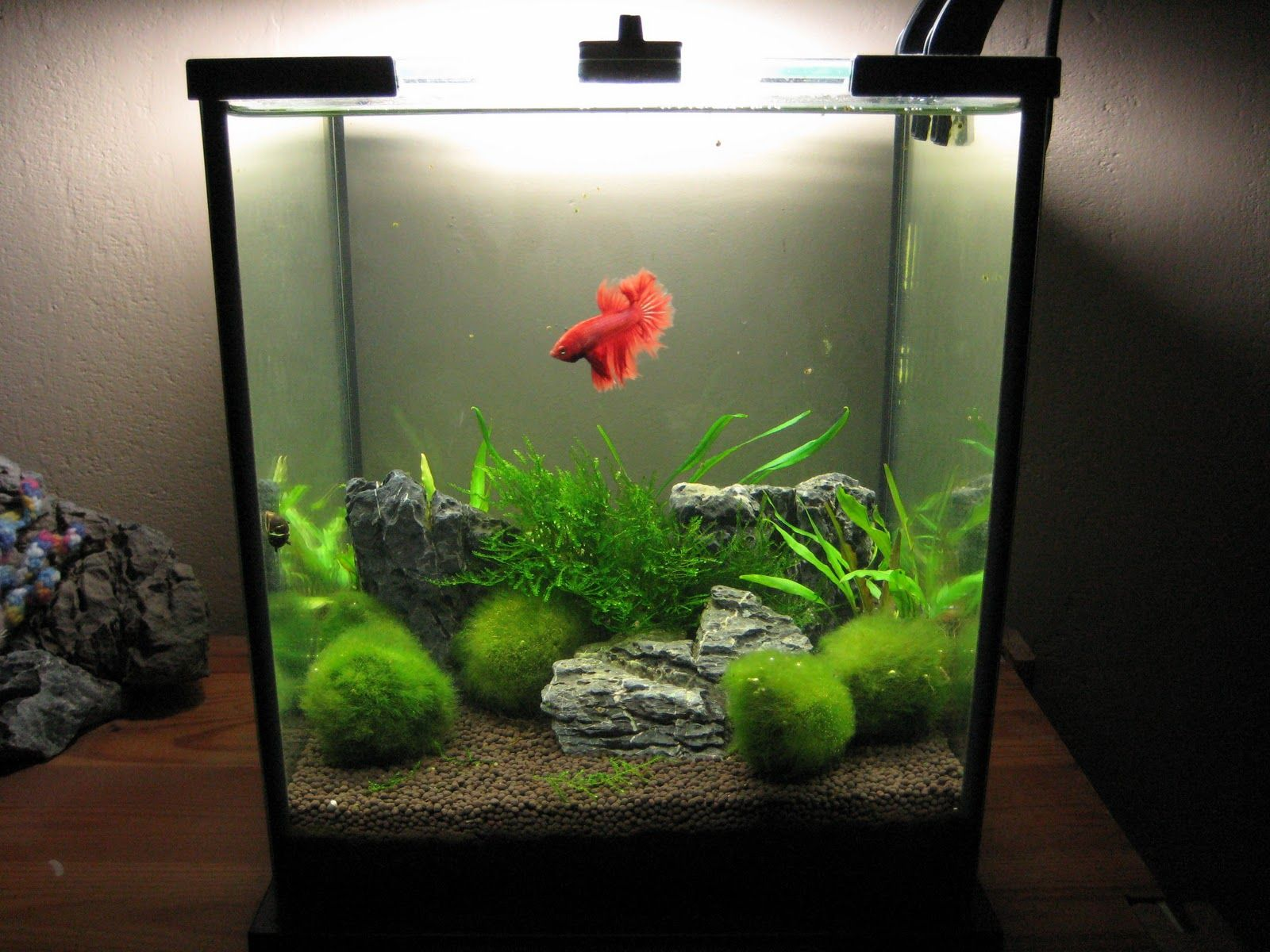 Beautiful Betta Tank Acuarios Plantados Pinterest