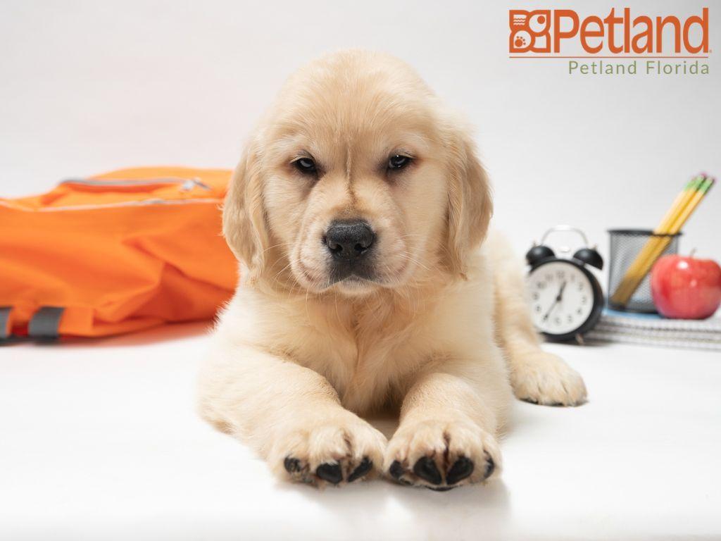 Puppies For Sale Petland Florida Puppy Friends Golden Retriever Puppies