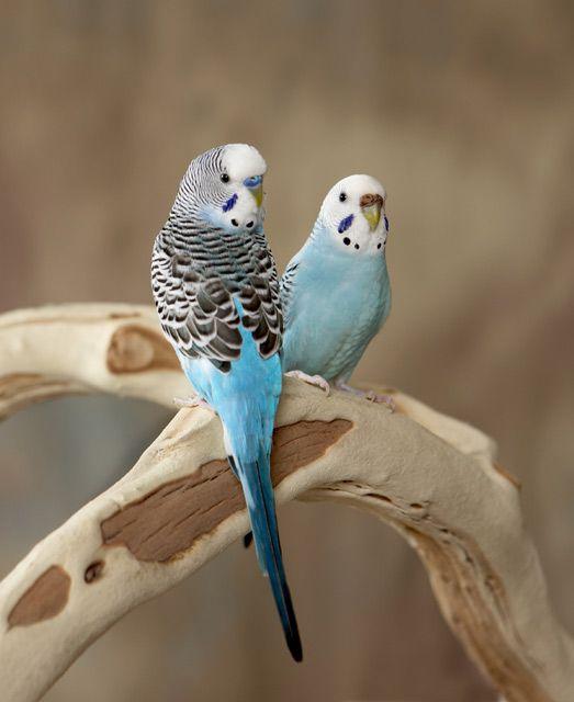Blue Budgie Couple Best Pet Birds Budgies Pet Birds