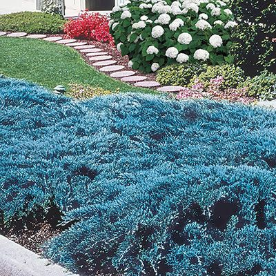Blue Rug Juniper Ground Cover Spring Hill Nurseries