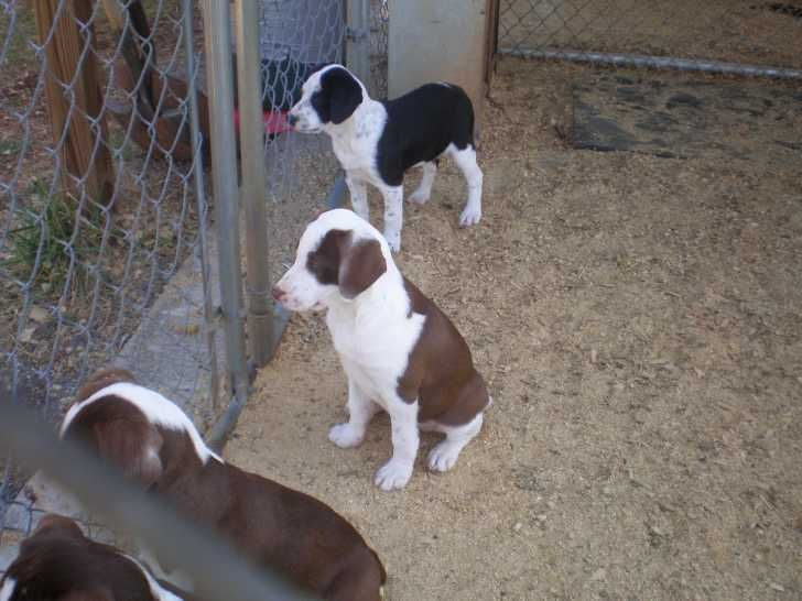 Cur Dog For Sale In Michigan