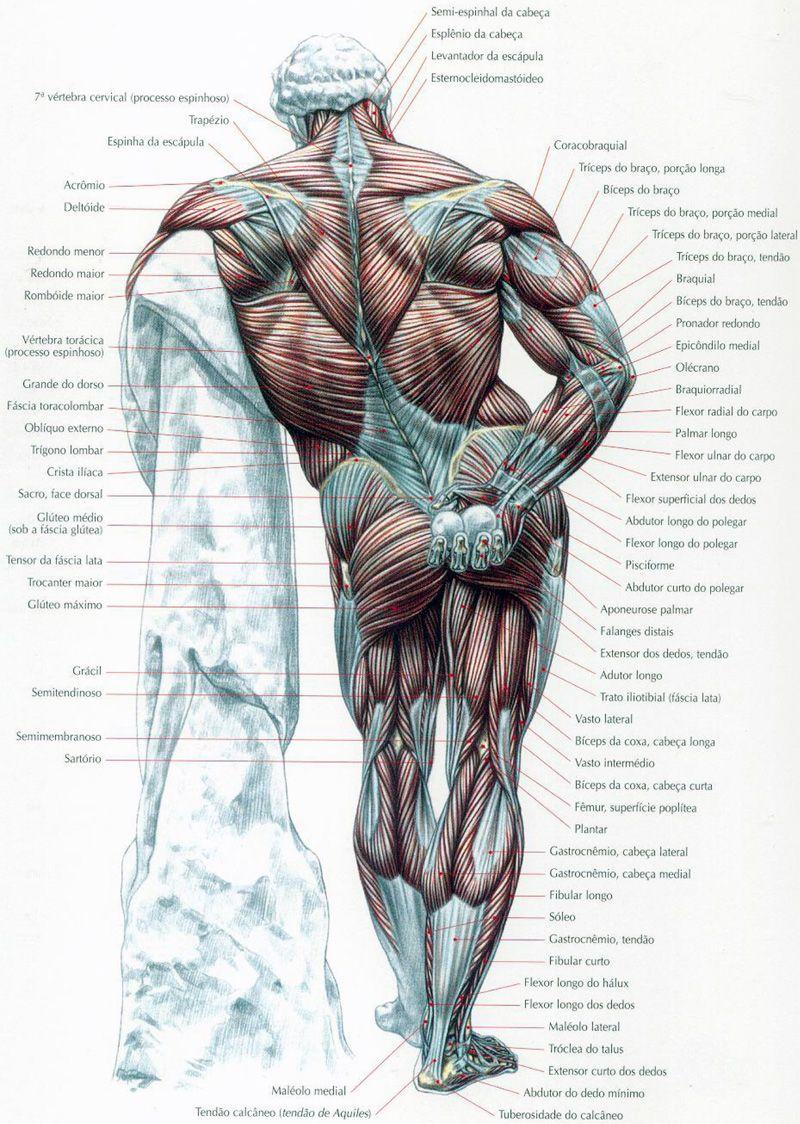 mapa-dos-musculos-03.jpg (800×1124)   Anatomy & Poses   Pinterest ...