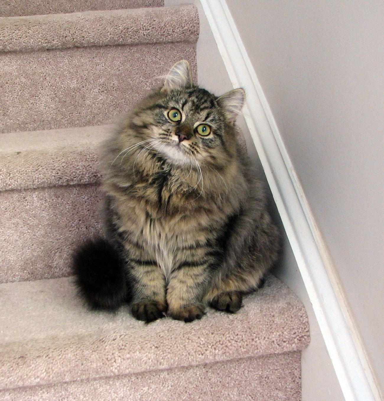Noelle mystic melody siberian cats cats pinterest siberian noelle mystic melody siberian cats geenschuldenfo Images