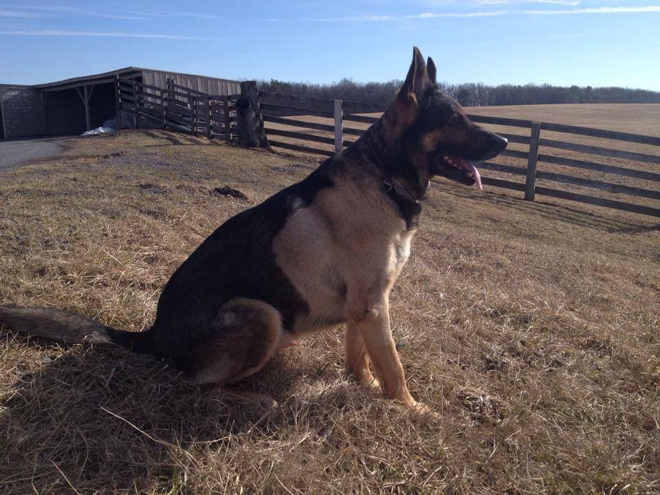 K9 Kota Winchester, VA Police Dept Enjoying the view