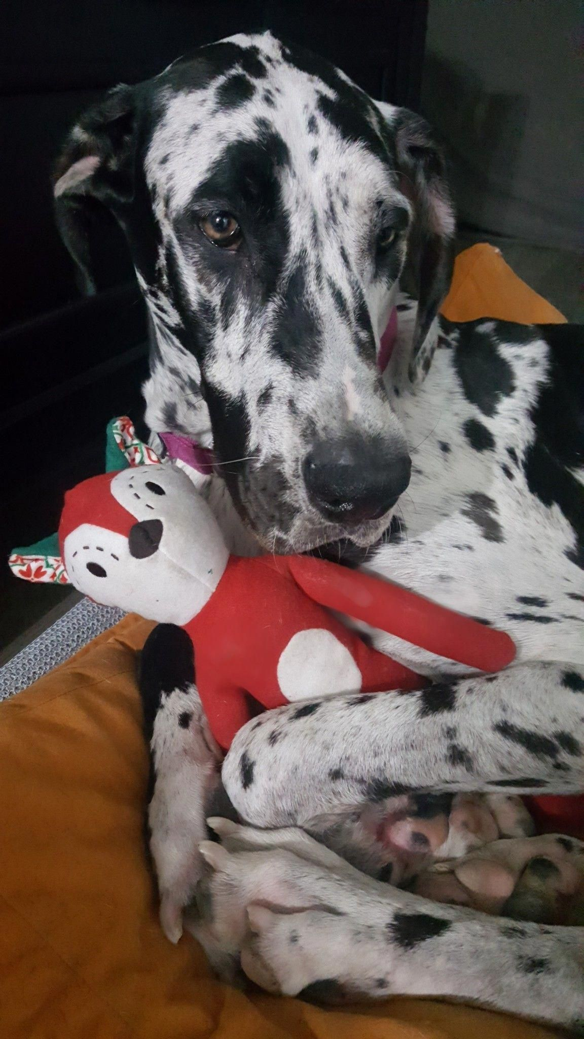 Quinn The Great Dane My Toy Greatdanes Great Dane Dogs Great
