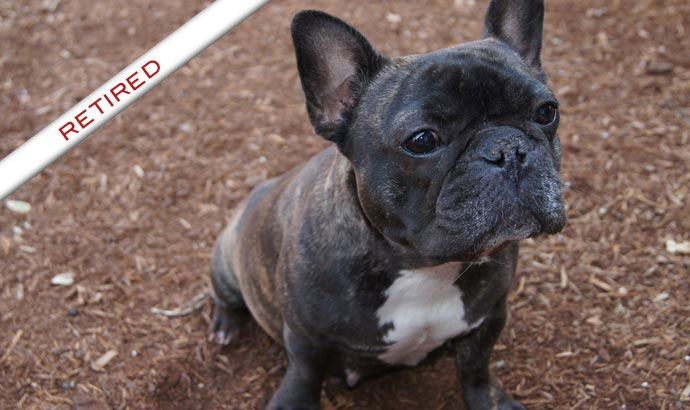 Daystar French Bulldogs Click Here To View Misty Morning S