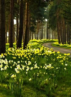 Daffodil Road Free Stock Photo