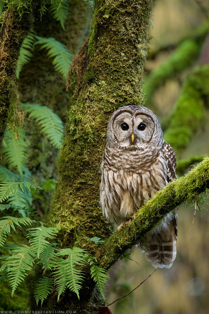 All About Birds Barred Owl