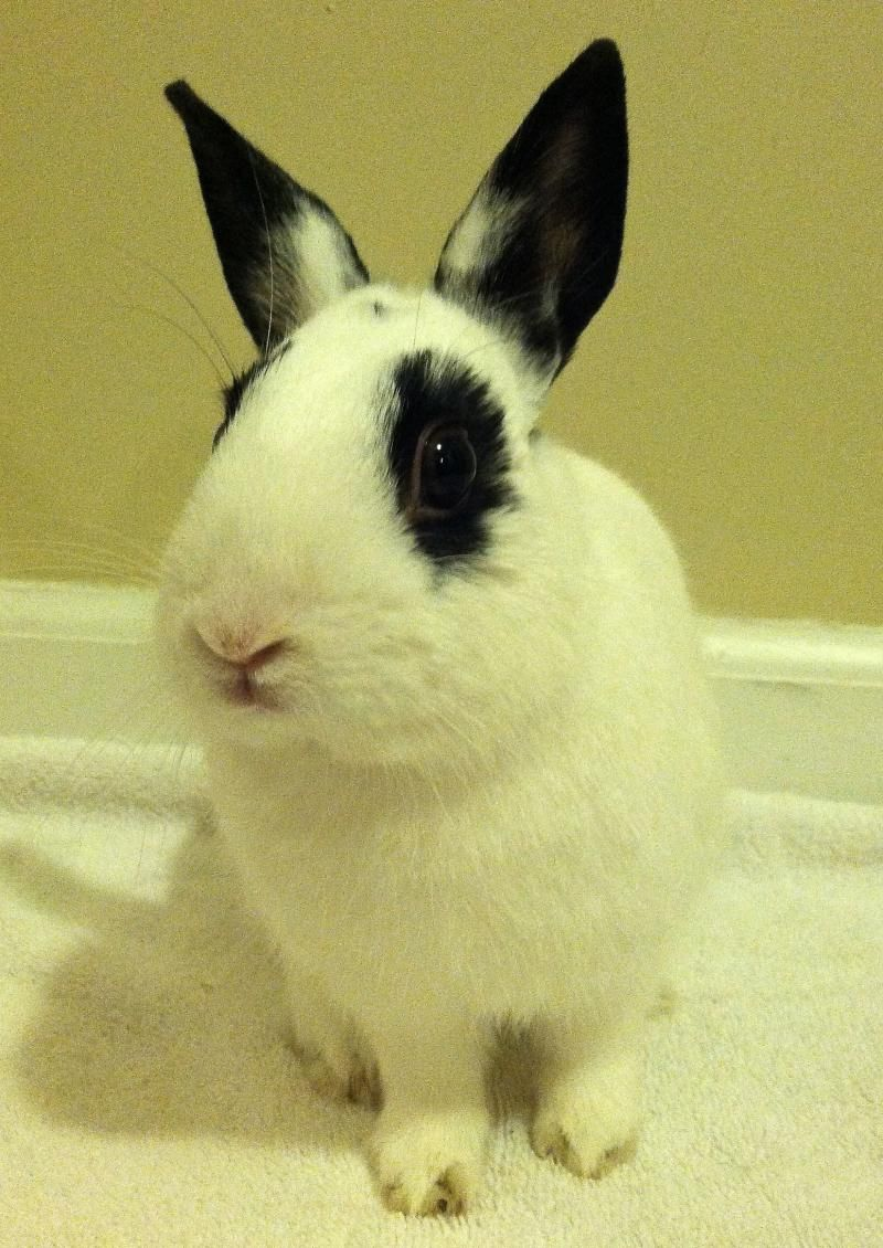 Meet Linus in temporary foster a Petfinder adoptable Hotot