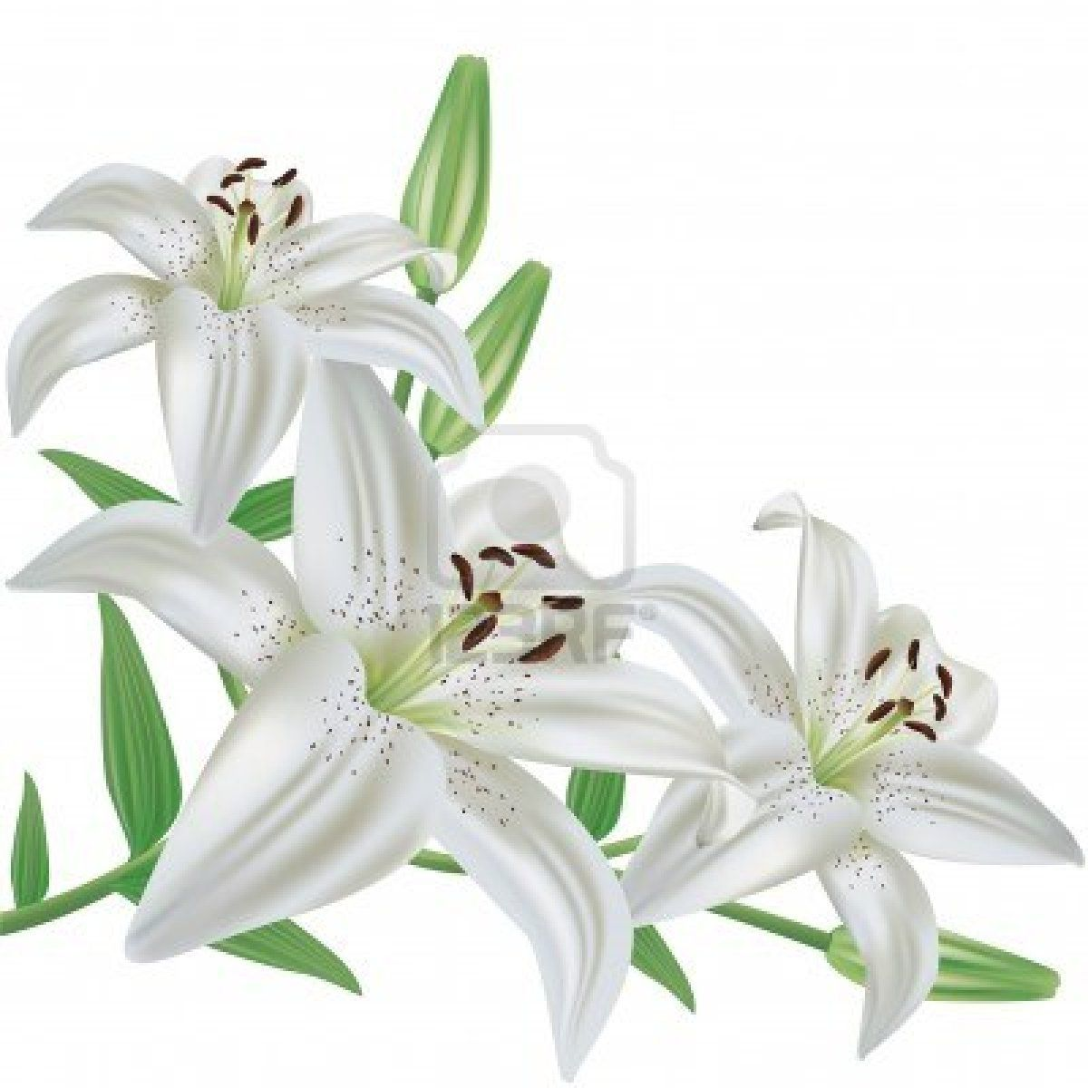 White Lily Flower The Hippest Galleries