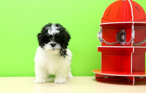 Shihpoo Mix Puppy For Sale In Portsmouth Oh Adn 28036 On