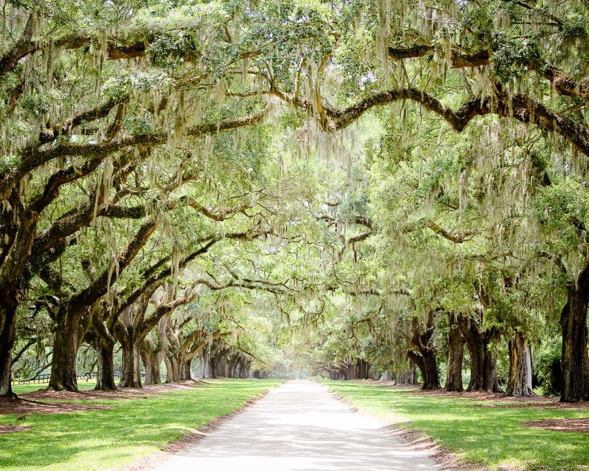 Charleston Art, Road Photography, Tree Lined, Live Oaks, Art Print ...