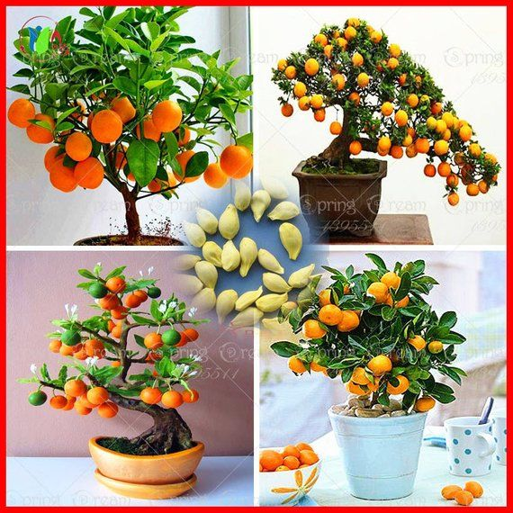 Hot 20pcs Bonsai Orange Tree Seeds Organic Fruit Tree Seeds For Flower Pot Planters Very Big And De Organic Fruit Trees Bonsai Orange Tree Flower Pots
