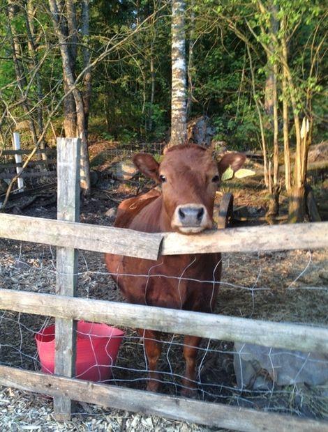 Tuleeko meille vasikka, Rosita? – Kotivinkki