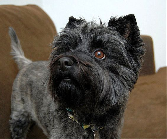 Looks Almost Identical To Ourjester Amazing Dogs Cairn Terriers