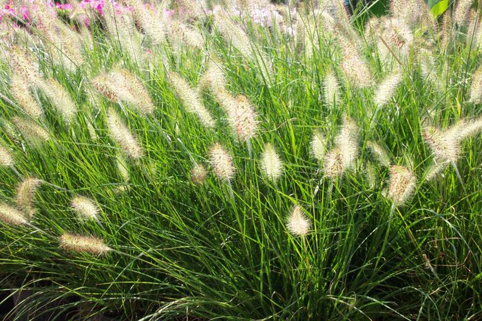 Whats The Name Of The Plant That Kind Of Looks Like A Cattail Ornamental Grass Landscape Tall Ornamental Grasses Grasses Landscaping