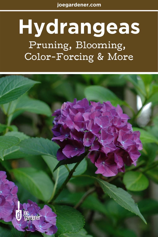 Hydrangeas Color Forcing Pruning Blooming Joe Gardener In 2020 Hydrangea Colors Hydrangea Not Blooming Hydrangea Care