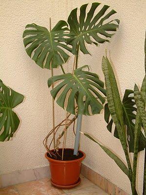 A Febre das Plantas - Plantas de Interior: Monstera deliciosa ou costela-de-adão - Plantas de...
