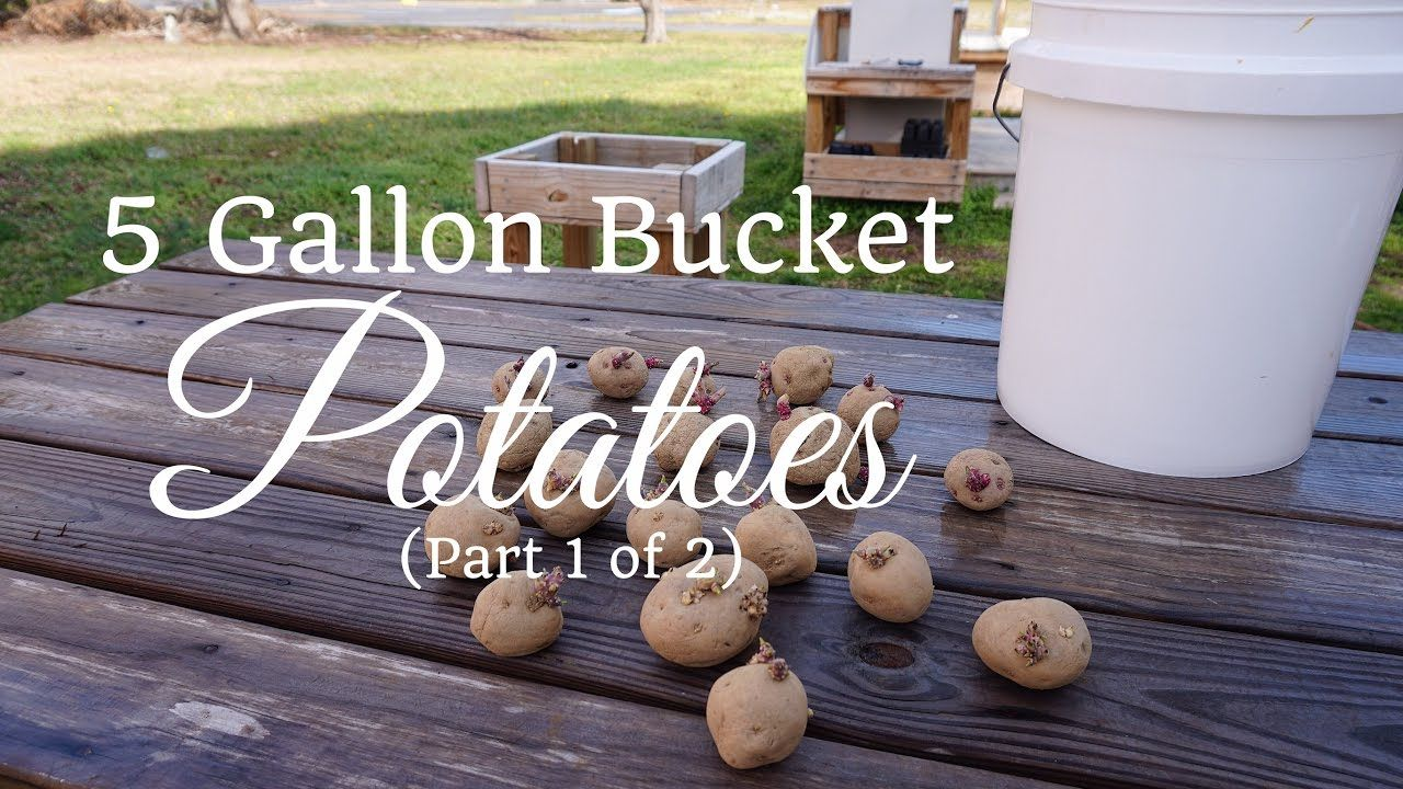 How To Grow Potatoes In A 5 Gallon Bucket Part 1 Of 2 400 x 300