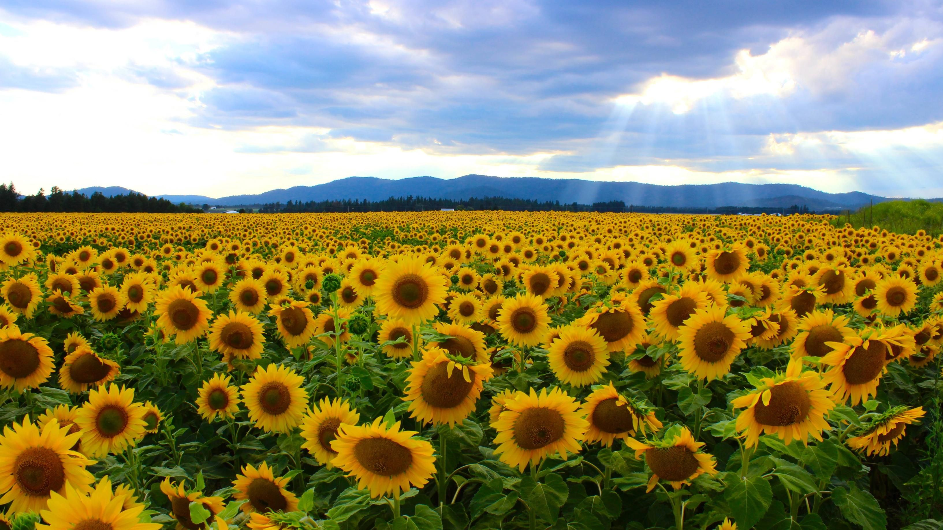 Field of sunflowers (Photo by /u/spockgiirl) [3266 x 1835 ...