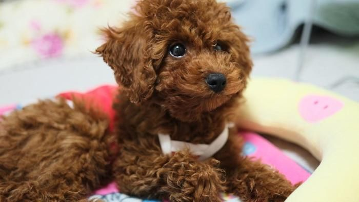 Where Can You Buy A Registered Toy Poodle Puppy Dog Breeds That