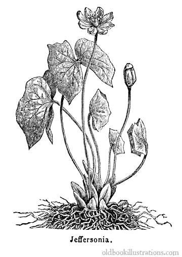 Illustration showing Jeffersonia diphylla, a herbaceous