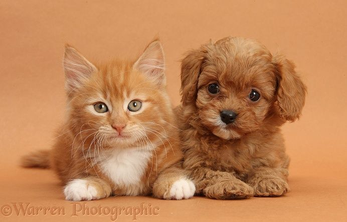 Pets Cavapoo Pup And Ginger Kitten On Brown Background Photo Kittens And Puppies Kittens Cutest Puppy Dog Photos