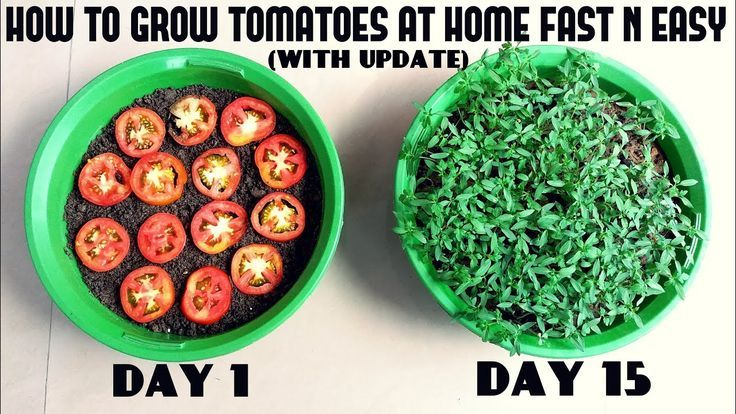 Grow Tomatoes from Tomatoes (Easiest Method Ever With Updates) #tomatenzüchten