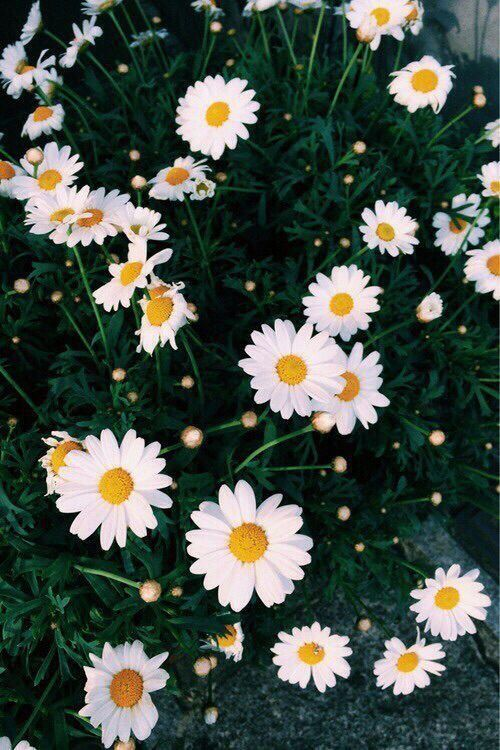 Top Selection Of Daisy Wallpaper