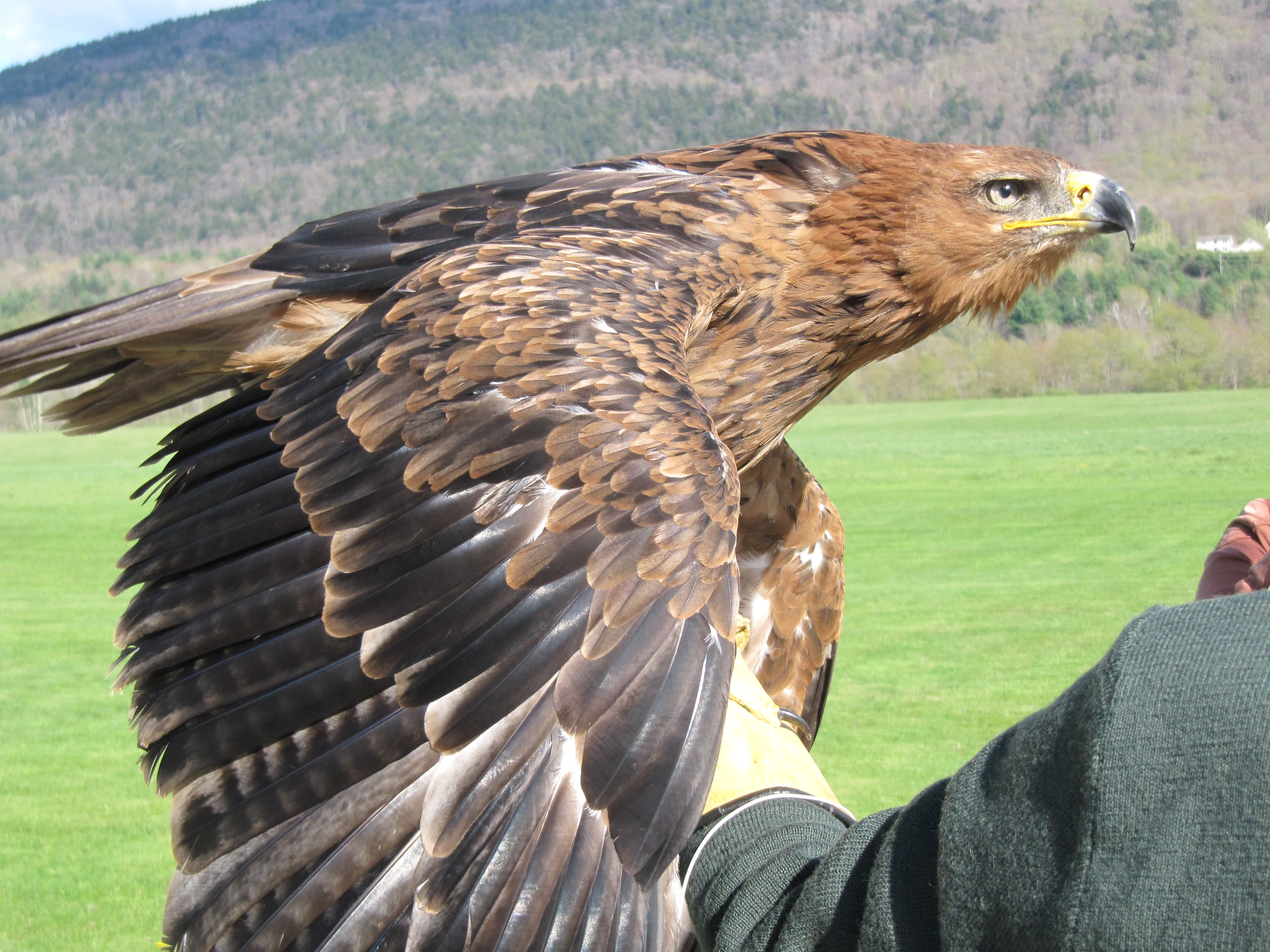 Image Result For The Equinox Manchester Vermont School Of Falconry Manchester Vermont Bird People Bald Eagle