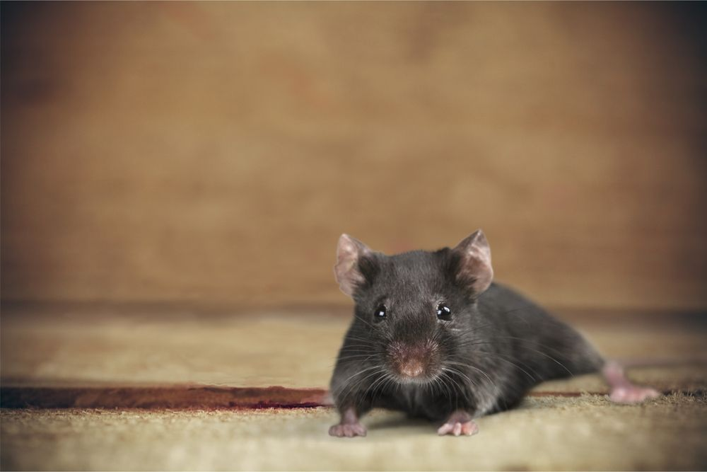 7 Ways To Keep Pests Out Of Your Cottage Cottage Life Mice Repellent Rodent Repellent Rodents